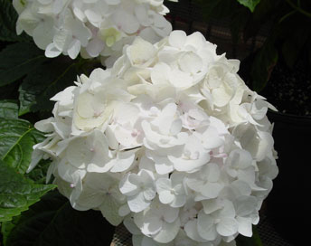 Hydrangea Endless Summer Blushing Bride